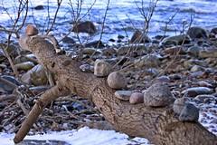 Am Binzer Steinstrand (lt_paris) Tags: urlaubinbinz2018 rügen steinstrand binz baum ostsee meer steine