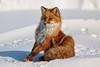 I'm so Pretty (Dan King Alaskan Photography) Tags: redfox fox vulpesvulpes winter northslope alaska canon50d sigma150500mm
