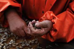 Fisherman hands (Ivano Di Benedetto) Tags: mani pescatore hands fisherman orange work fish seasnails lavoro canon food pêcheur manos eos coloursplosion outside sea cibo lumachinedimare adriatico mare