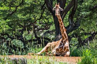 Giraffe - Honolulu Zoo