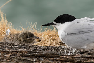 White-fronted Tern doting on its chick