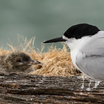 White-fronted Tern doting on its chick thumbnail