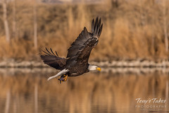 Bald Eagle makes the catch - 33 of 33