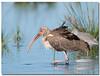 American White Ibis - Immature (Betty Vlasiu) Tags: american white ibis immature eudocimus albus bird nature wildlife chincoteague island