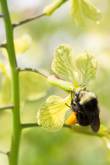 Wildcat Bumble-bee in Radish-4737 (alankrakauer) Tags: ebrpd wildcat parks publiclands eastbay bayarea nature radish flower pollinator spring bee bumblebee pollen