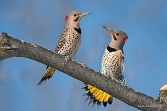 Showdown (Earl Reinink) Tags: bird animal nature photography earl reinink earlreinink niagara winter fight woodpecker flicker northernflicker spring daudtdtdza