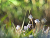 Spring star (Tomo M) Tags: verdeclaro ハナニラ lightgreen lifeisarainbow nature weed light bright sunshine morning bokeh blur spring flower pentacon throughherlens