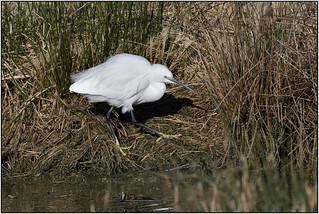 Little Egret (image 2 of 3)