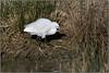 Little Egret (image 2 of 3) (Full Moon Images) Tags: rutland water wildlife trust nature reserve bird little egret