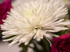 Spider Chrysanthemum (Mad Cow Imagery) Tags: bokeh dahlia macro indoors closeup essex england uk unitedkingdom gb greatbritain canoneos80d bouquets bouquet flower flowers spiderchrysanthemum chrysanthemum