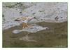 Redshank (trinca totanus) (Joao de Barros) Tags: joão barros bird nature wild redshank