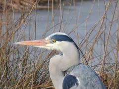 Grey Heron (Corine Bliek) Tags: ardeacinerea rdeidae vogel vogels watervogels waterbirds nature wildlife natuur birding bird birds wader water reeds rietlanden
