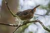 Tasmanian Scrubwren 2 (Sericornis humilis) (Keefy2014) Tags: tasmanian scrubwren sericornis humilis
