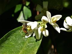 Pet food (alansurfin) Tags: honeybee apismellifera api abeille abeja bienen pollination bee nectar pollen blossom citrus