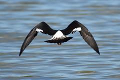Pied Oystercatcher 2 (philk_56) Tags: perth western australia bird swan river pied oystercatcher