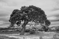 Valdenavarro, pine tree. IV (Fencejo) Tags: canon600dt3ikissx5 tamronspaf1750mmf28xrdiiild blackwhite landscape nature aragón zaragoza
