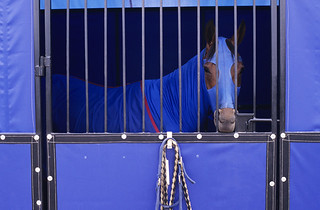 Horse in stall with bright blue blanket and side protectors
