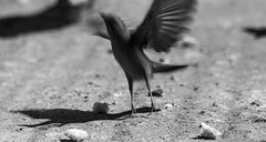 Flying Bird (Rachid Ahitass) Tags: monochrome black blur action bird flying breadcrumb morocco oiseaux maroc atlas wild