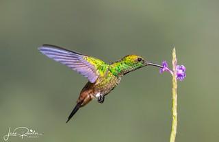 Copper-rumped Hummingbird-1