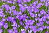Purple (ivlys) Tags: frankfurtammain palmengarten garden blumen flowers blüten blossoms krokus crocus lila purple makro macro ivlys