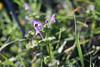 Lamium amplexicaule (esta_ahi) Tags: penedès flor flora flores silvestres lamium amplexicaule lamiumamplexicaule lamiaceae labiatae torrellesdefoix barcelona spain españa испания