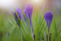 We Three Beauties... (Debbie Louise Hutchins) Tags: macro bokeh bokehlicious soft softbokeh light sunlight spring march meadow garden purple yellow gold mauve beautiful beauty nature nikon nikond750 sigma sigmaart f14 aperture 50mm grass green flower flowers crocus daffodil