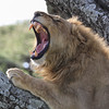 At The End Of A Tiring Week ... (AnyMotion) Tags: lion löwe pantheraleo male tree baum yawning gähnend 2018 anymotion ndutu ngorongoroconservationarea tanzania tansania africa afrika travel reisen animal animals tiere nature natur wildlife 7d2 canoneos7dmarkii square 1600x1600 portrait porträt porträtaufnahmen