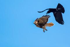 Crow vs RT Hawk-a (CharlesHastings) Tags: wildlife hawk nature birds birdsofprey redtailedhawk