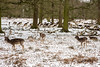 Roe Deer at Dunham Massey (Ged Slaughter Photography) Tags: roe roedeer deer deerpark dunham dunhammassey gedslaughter cheshire winter wintery snow snowy nt nationaltrust