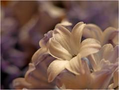 Little Ida's Flowers (jesse1dog) Tags: macromondays onceuponatime littleidasflowers hyancinth faded dead pentaxauto110 extensionring gm1 flower texture white blue violet petal