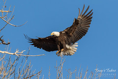 Female Bald Eagle returns to the nest - 15 of 29