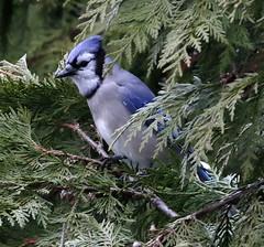 _Q8A1051RichmondBlueJaySmall (birdbug3) Tags: cyanocitta cristata