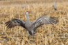 Just showing off. (jc-pics) Tags: nikon d7000 sigma 150500mm birds wildlife sandhill crane migration nature