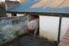 Llwyn-yr-Eos Farm - boar in pigsty (cmw_1965) Tags: llwynyreos st fagans museum cardiff wales cymru farm farmstead house farmhouse agricultural rural grade 2 listed historic interwar 18th eighteenth century georgian victorian edwardian early 19th nineteenth pig boar hog sty pen pigsty