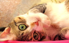 Suzie ♥ (♥ MarildaHungria ♥) Tags: suzie kitty kitten cat pet animal lovely adorable cute kawaii feline
