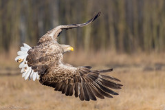 Flying European Sea Eagle / Seeadler (eric-d at gmx.net) Tags: haliaeetusalbicilla ngc eric wildlife seaeagle eagle adler seeadler adult ericdgmxnet naturepicturede