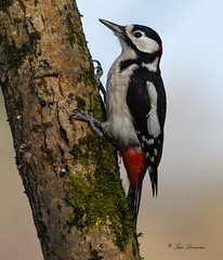 Woodpecker Male (maddiver58) Tags: dean mason woodpecker widdows wildlife woodland hide dorset bird nature