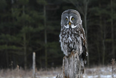 great gray owl (Mel Diotte) Tags: great gray owl nature bird raptor eyes wise mel diotte