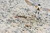 Black-capped Chickadee 1 (Magicgrapher) Tags: pier chickadee habitat67 habitat angrignon park vieuxport montreal blackcapped