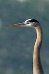 Great BLUE Heron (John's Love of Nature) Tags: greatblueheron ardeaherodias johnkelley