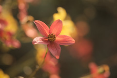 dancing in the light (christophe.laigle) Tags: rouge christophelaigle colours nature flower red fleur macro vivid light fuji yellow couleurs lumière jaune xf60mm xpro2