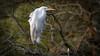 Silberreiher (Ardea alba, Syn.: Casmerodius albus, Egretta alba) (Andrelo2014) Tags: silberreiher ardea alba casmerodius albus egretta sony tamron 600mm wildlife schreitvögel ciconiiformes bird reiher