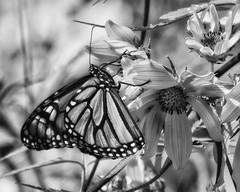 MonarchButterfly_SAF4372_DxO-2 (sara97) Tags: monochrome bw blackandwhite blackwhite insect nature monarchbutterfly danausplexippus milkweedbutterfly copyright©2017saraannefinke photobysaraannefinke butterfly