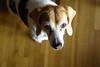 The Beagle Glamour Shot (Rich Renomeron) Tags: olympusmzuiko25mmf18 olympusomdem10 beagle dog