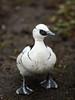 Curious / begging smew (PChamaeleoMH) Tags: anatidae birds centrallondon ducks london smews stjamesspark