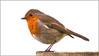 Cock-Robin_MG_4845 (HJSP82) Tags: 20180306northcavewetlands robin bird bold