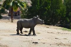 DSC_4599 (Andrew Nakamura) Tags: animal mammal rhino rhinoceros southernwhiterhino whiterhino whiterhinoceros rhinocalf onthemove sandiegozoosafaripark safaripark escondido