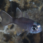 Similar cardinalfish (Nectamia similis) thumbnail