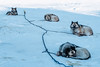 Sled Dogs in Harbour-6 (Kristaaaaa) Tags: animals arctic canada dog dogs dusk fur huskey north nothwestterritories sleddog snow tuktoyaktuk winter