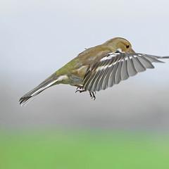 Pinson A6504502_DxO (jackez2010) Tags: ilce6500 fe100400mmf4556gmoss bif birdinflight pinsondesarbres